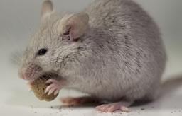rats-souris