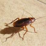 cafards-blattes