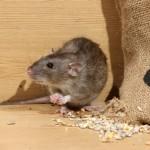 rat-souris