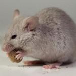 souris-rats